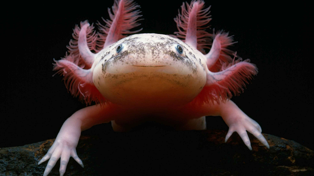 Salamander Macrophages Found To Be Key To LImb Regeneration