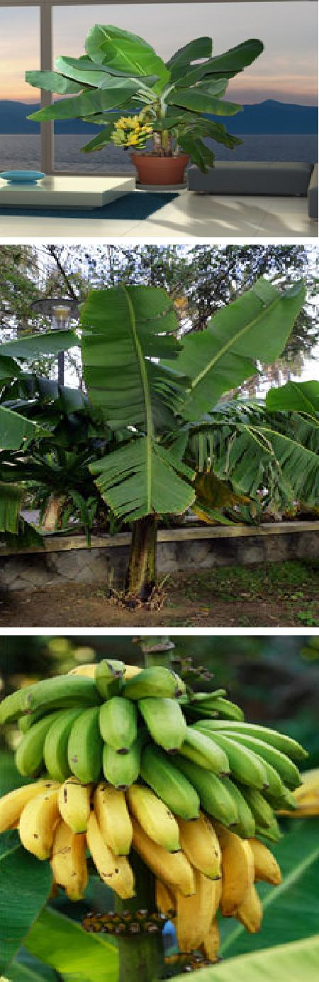 how to grow bananas in cold areas successfully
