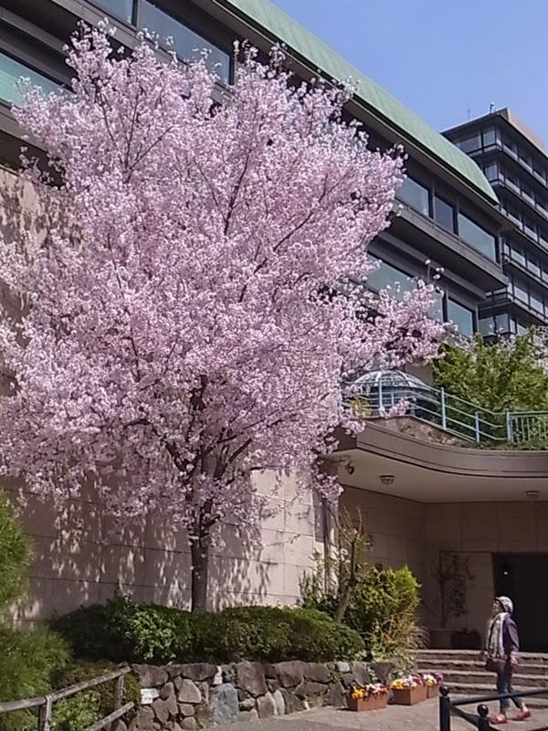 椿山荘の彼岸桜
