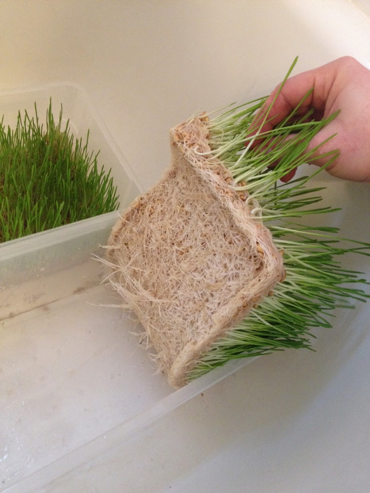 how to grow fodder in the winter