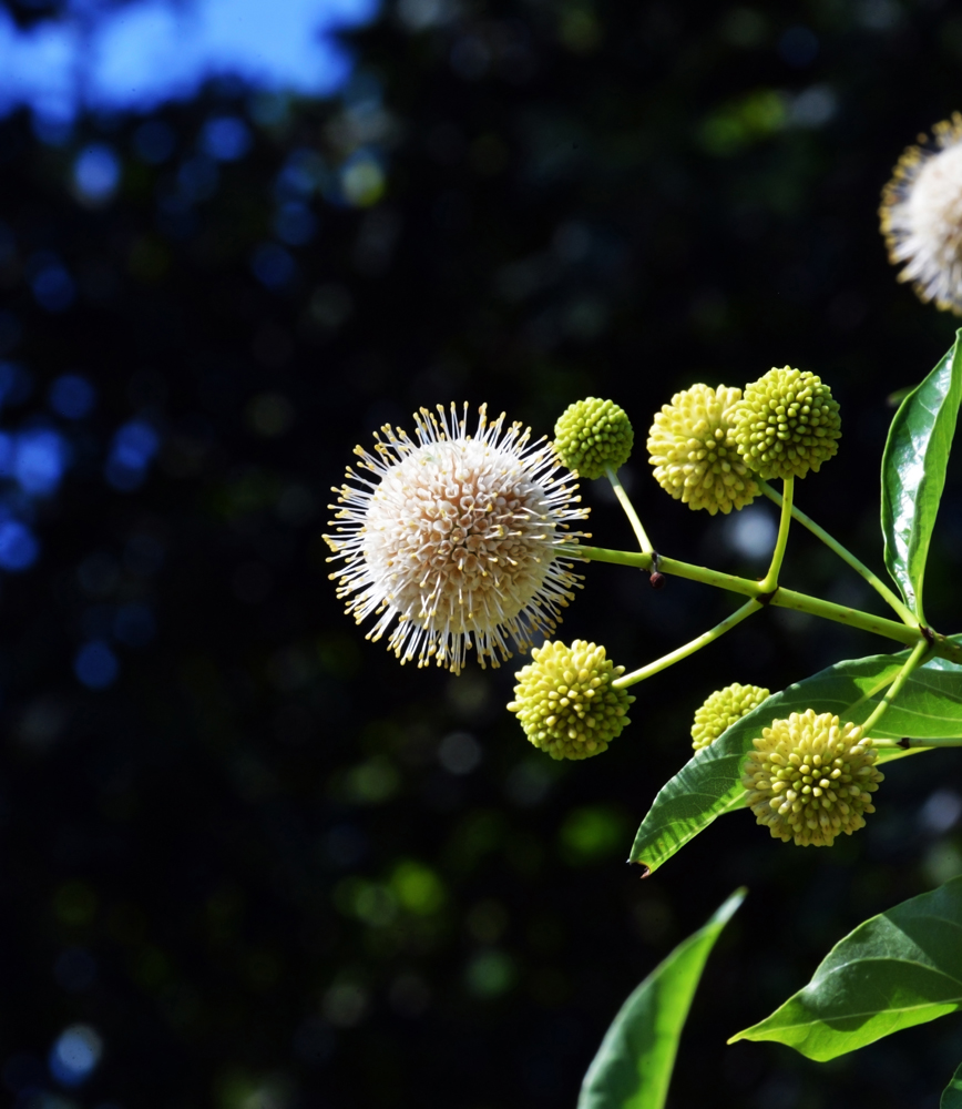 Buttonbush Cephalanthus occidentalis_4392