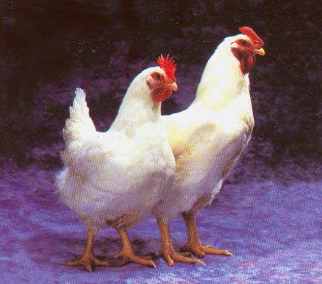 Ayam Betina