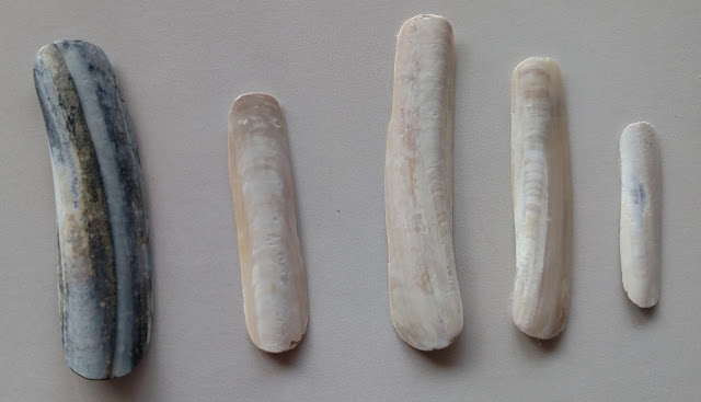 jackknife clam shells shaped into fingernails