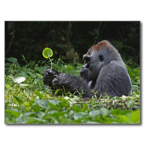 A Silverback Soaks In A Swamp | Awesome Photo Poster