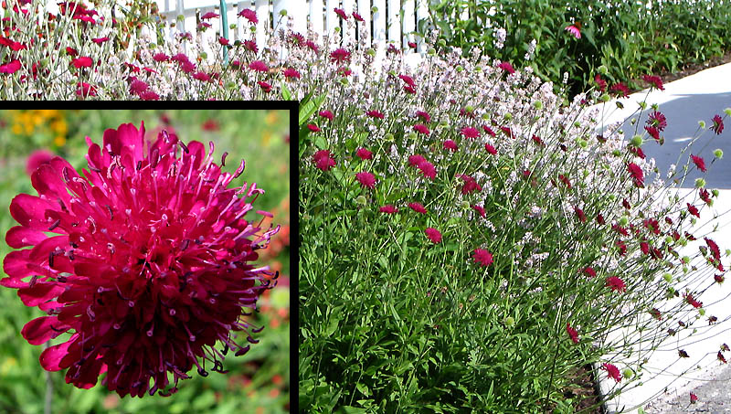 Pincushion Flower Good Witches Magickal Flowers And Herbs