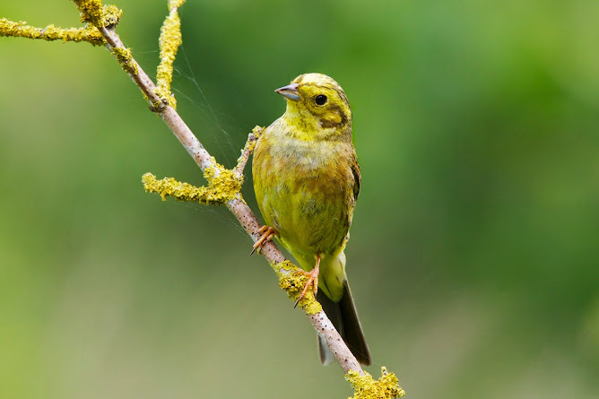 Yellowhammer (female)