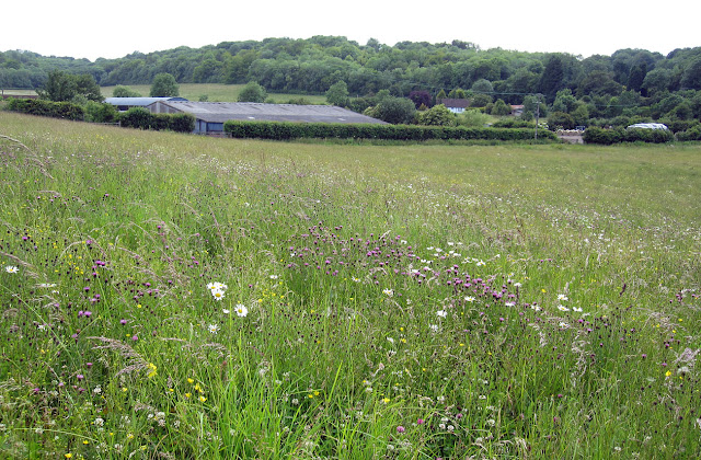 Cudham valley and Bottom Barn Farm with common knapweed and ox-eye daisy.  Ups and Downs walk led by Ewa Prokop, 21 June 2011.