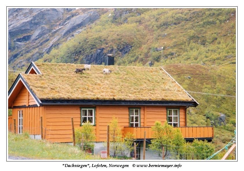 Ziegen am Dach