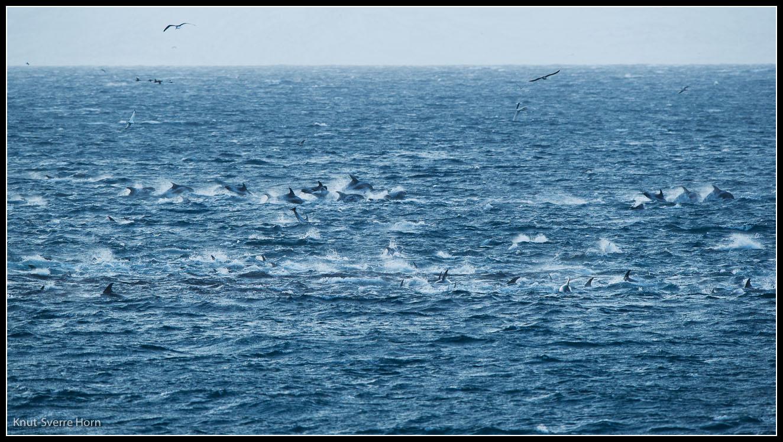 finnes delfiner i norge