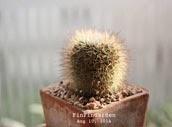 http://finfingarden.blogspot.com/2014/12/mammillaria-spinosissima-cactus-cacti.html