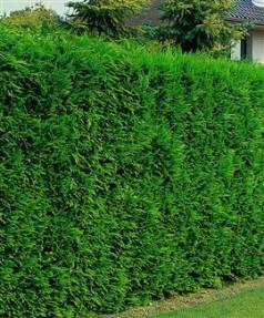 Flori si plante chiparos leyland cupressocyparis leylandii for Cipresso leyland