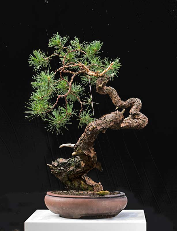 walter pall bonsai adventures scots pine 14. Black Bedroom Furniture Sets. Home Design Ideas