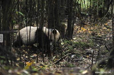 Prehistoric man ate pandas