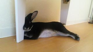 テーブルの足に顔を乗せて寝るうさぎ、ミニレッキス