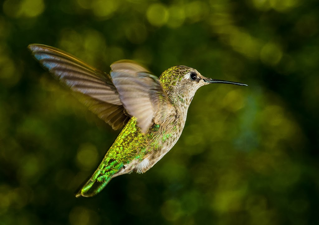 How to Photograph Birds in Flight Using Manual Focus Lenses