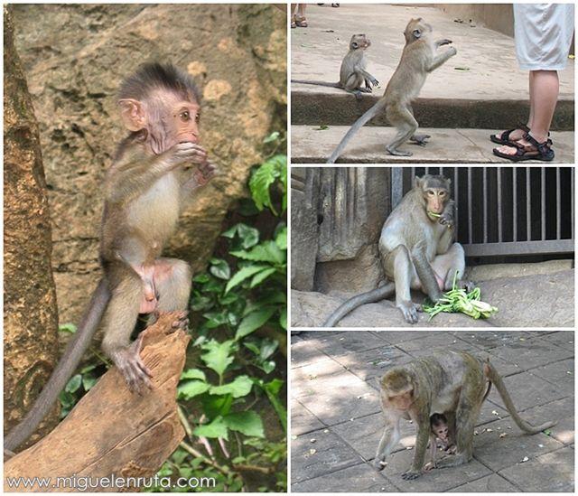 Macacos-Asia-monos