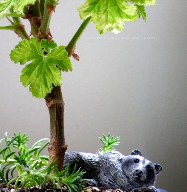 Pelargonium Charity woody stem, with bear figure