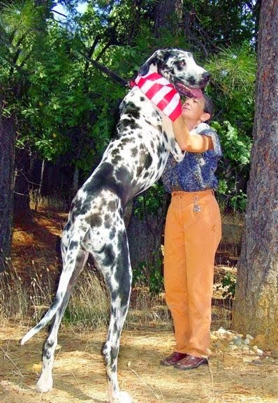 GREAT DANE-HARLEQUIN_MYCLIPTA