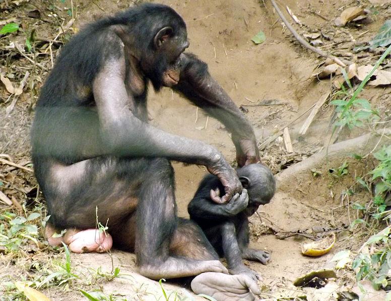 image Bonobo 4 girls playing