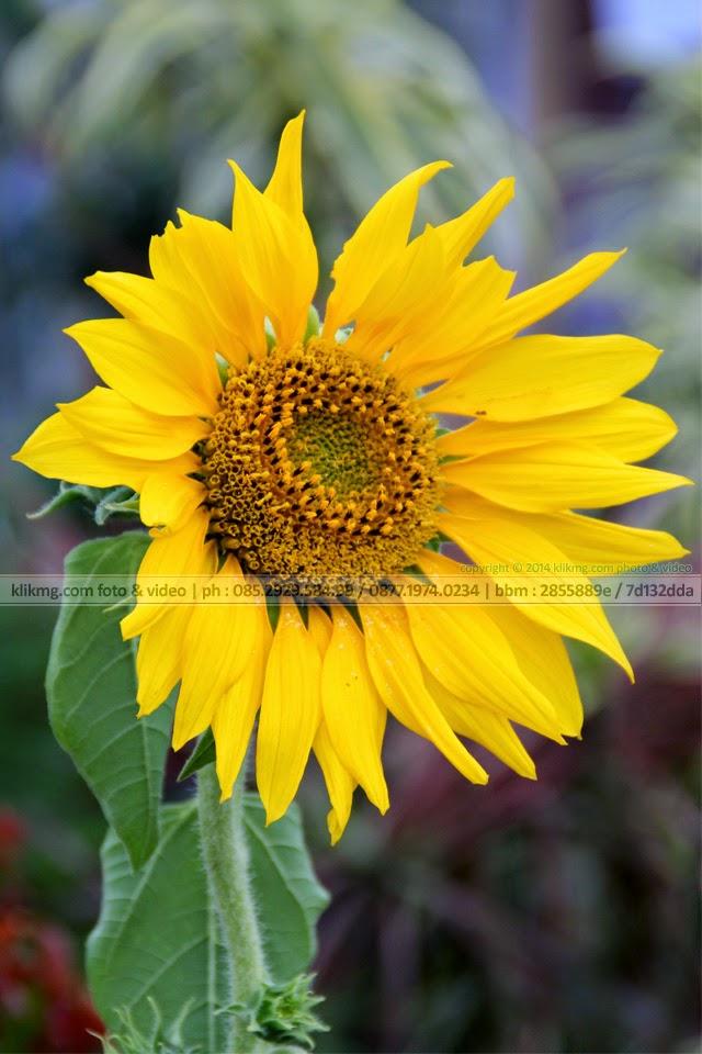 Bunga Matahari / Helianthus Annus - foto oleh : Klikmg Fotografer Indonesia.