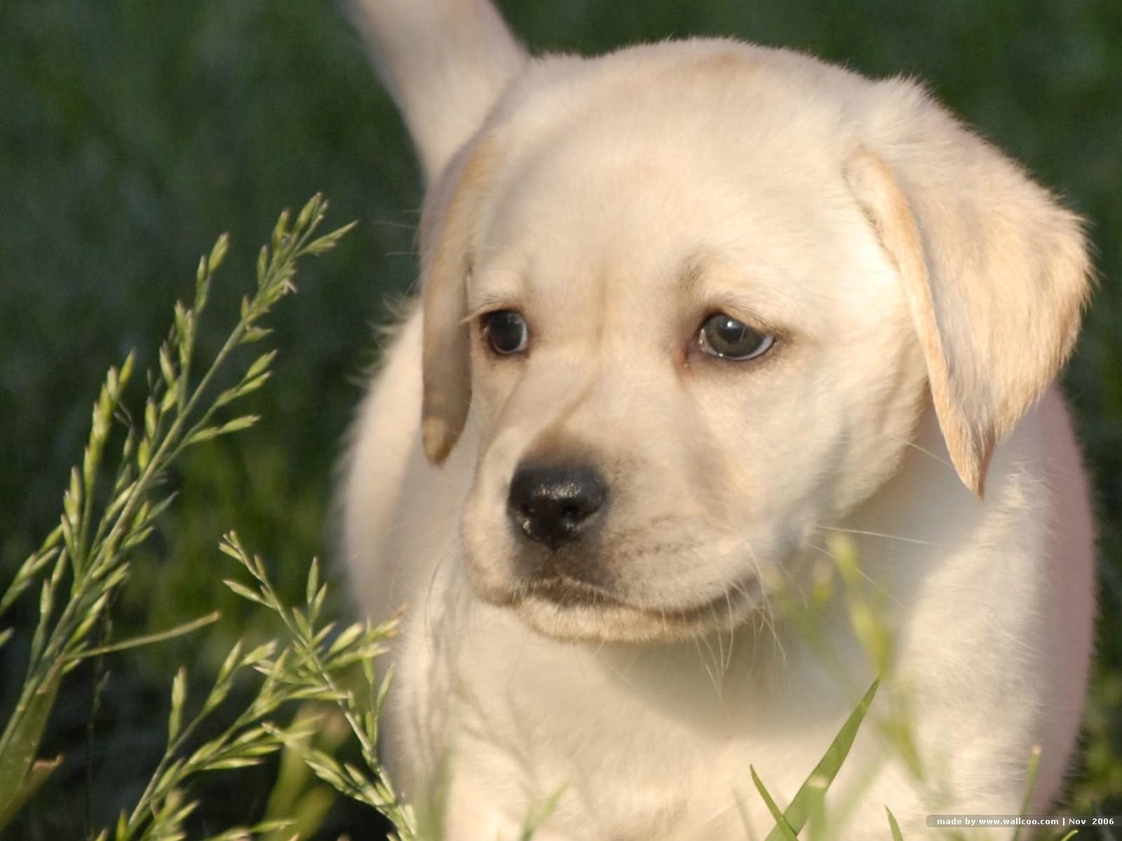 labs for free Find nearby lab puppies and dogs for sale/adoption close to your home in our online classifieds- or advertise your labrador retriever puppies for free on our website.
