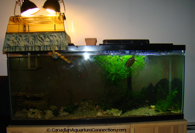55 gallon aquarium with basking platform. Buddy will need tank ...
