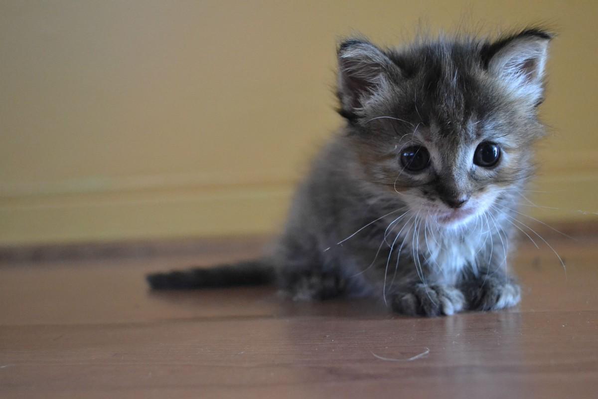 domestic shorthair cat breeds