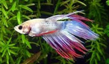 Mengenal Ikan Cupang ( Betta splendens)