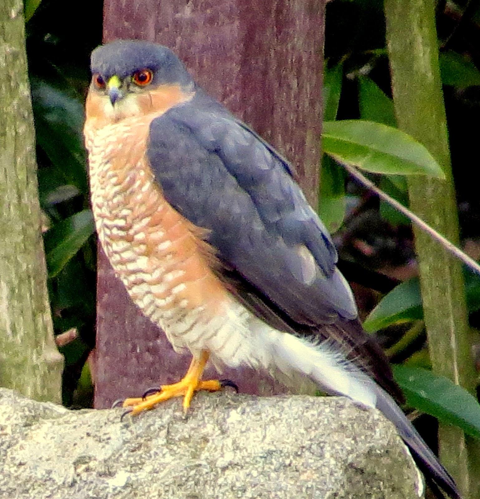 Ogden Sparrowhawk