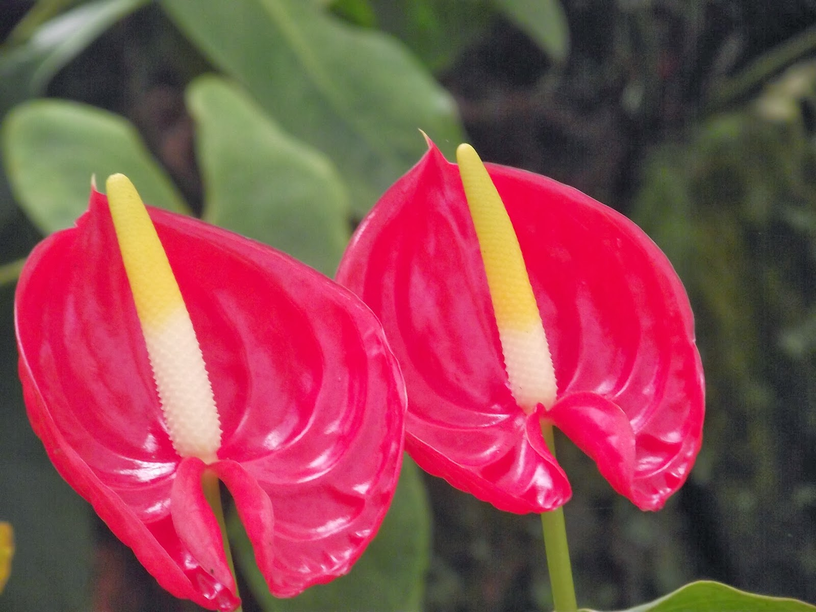 Ramvaidyblog anthurium a flower for wase par excellence anthurium flowers are small and develop crowded in a spike on a fleshy axis called a spadix a characteristic of the araceae the flowers on the spadix are izmirmasajfo