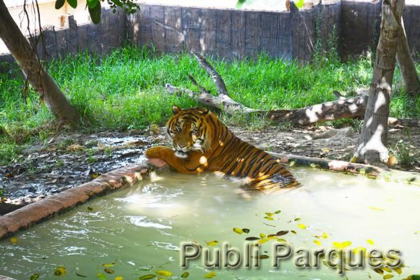Tigre refrescándose