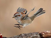 Leaping Sparrow