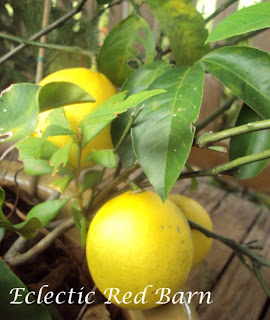 lemon tree with ripened lemons