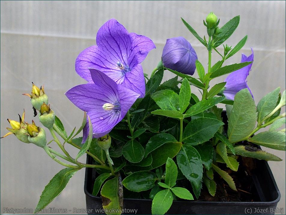 Platycodon grandiflorus - Rozwar wielkokwiatowy