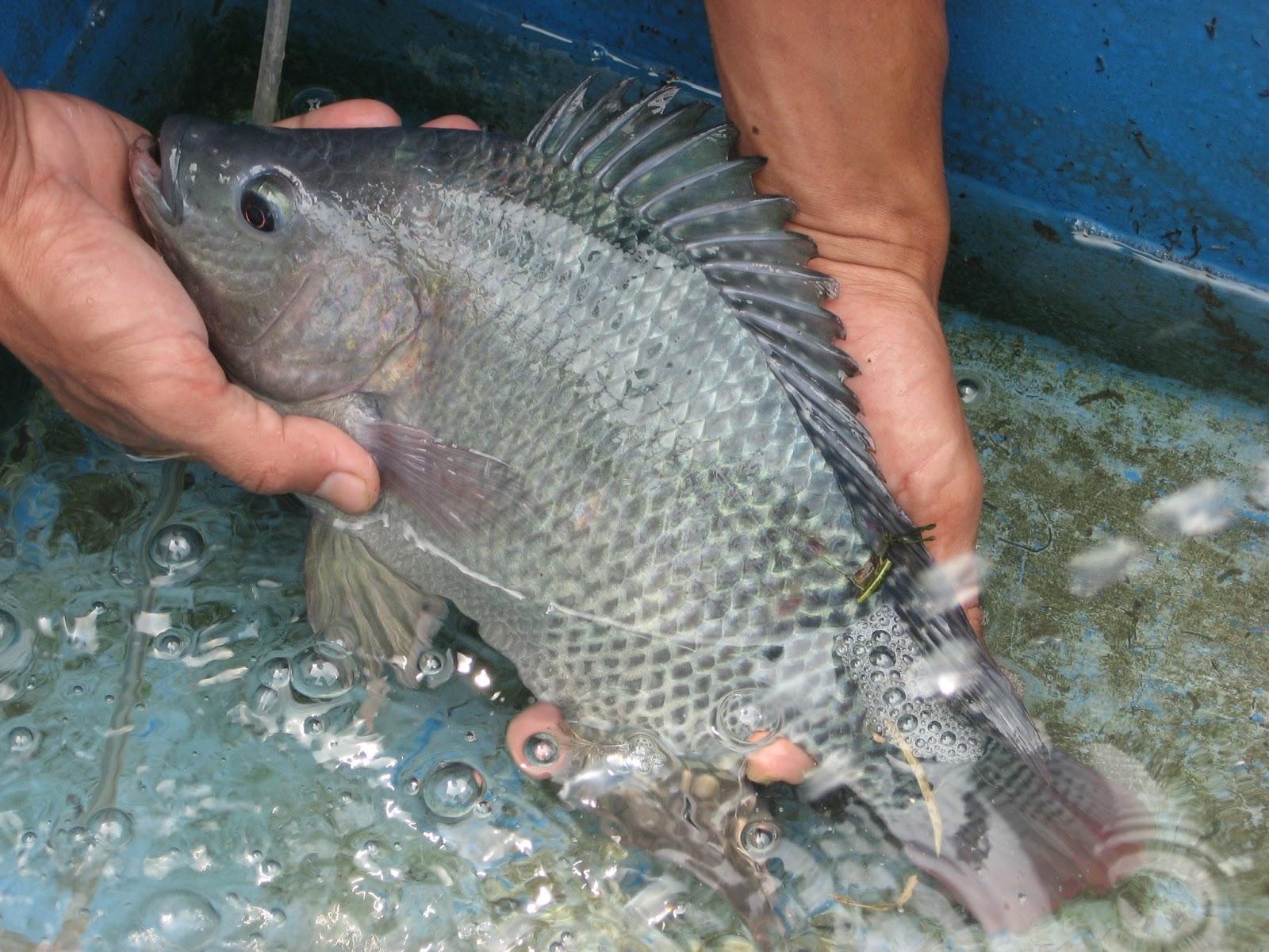 Menangkap Ikan Besar Menangkap Ikan Nila