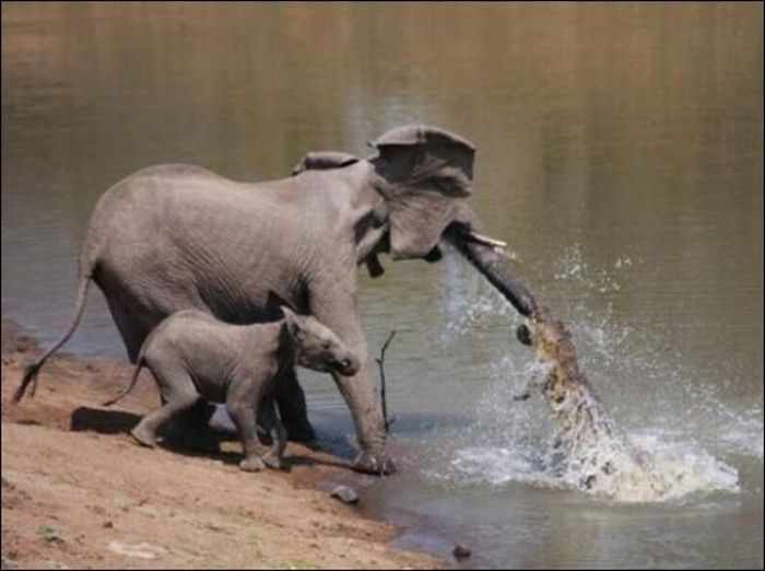 http://4.bp.blogspot.com/-QCF-HWVLuVA/Tp3Z-4D1CVI/AAAAAAAAKjE/7Zt3iC7Njxc/s1600/ARTICLE+VIDEO+INSOLITE+ELEPHANT+VS+CROCODILE.jpg