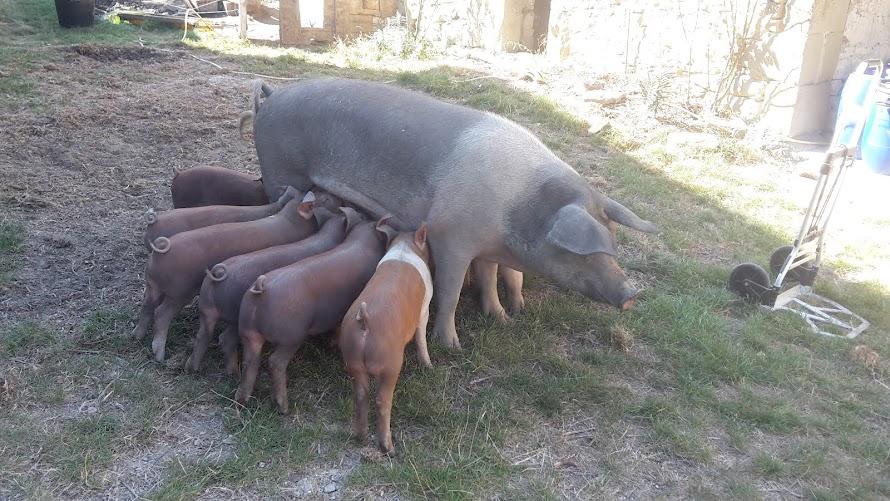 Superbe truie allaitant ses douze petits (Elevage Le Cochon Drômois, 26 Bourdeaux)