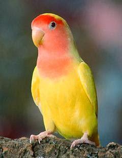 Foto Burung Lovebird Pastel Terbaik