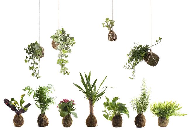 bien, los kokedamas son plantas que crecen en una bola de musgo De