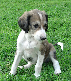 Saluki Puppy Photos