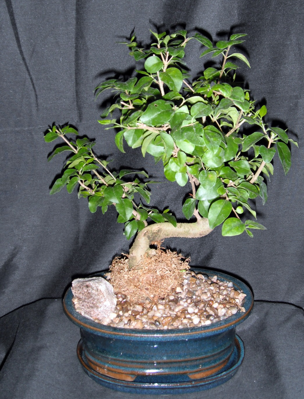 Plants For All Blog Bonsai Have Arrived At Plants For All