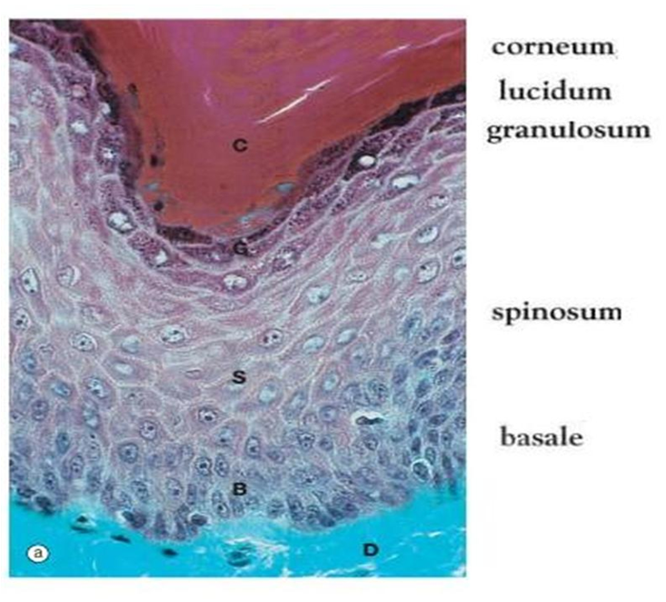 mbbs medicine (humanity first): skin histology, Human Body