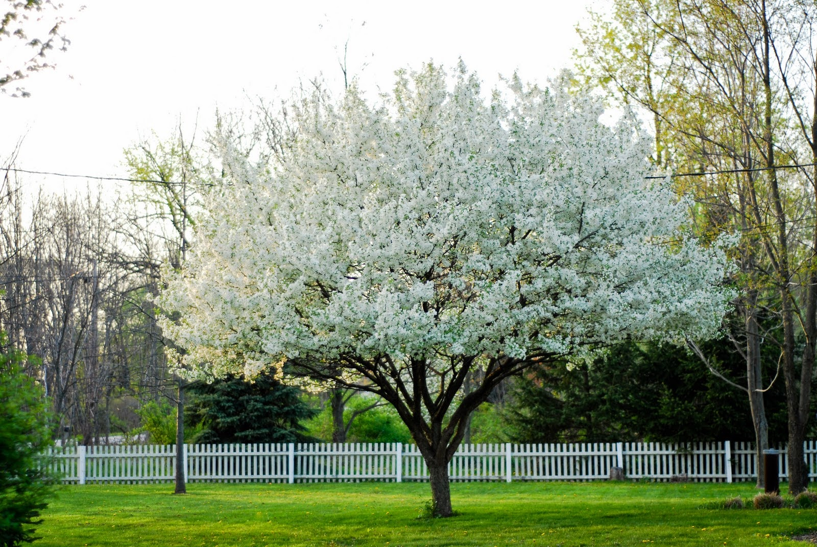 flowering crab tree, tree, landscaping, second house, outside