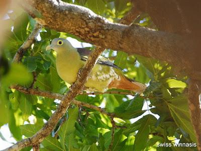Foto Burung Punai Penganten