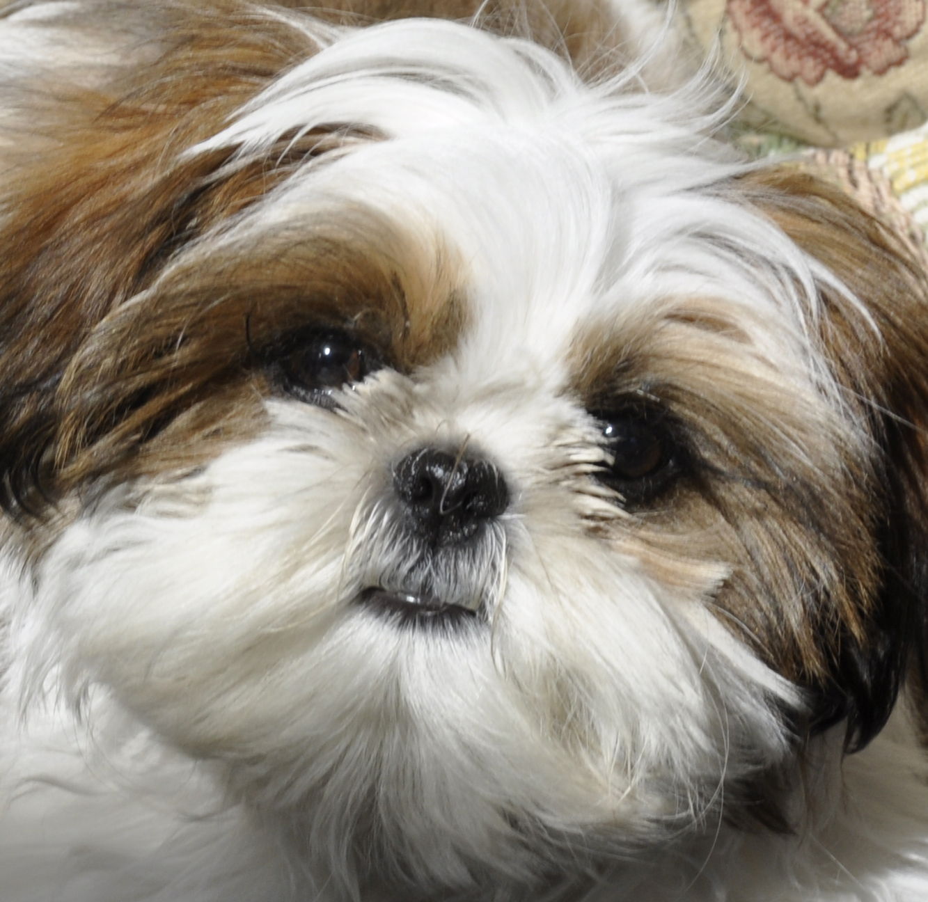 Shih Tzu Related Keywords - Shih Tzu Long Tail Keywords
