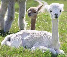 Sheered Alpacas