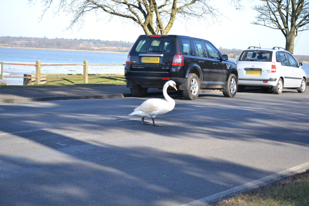 Swans corssing the road