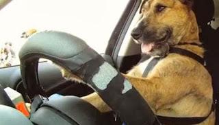 فيديو أول كلب يقود سيارة في العالم  141-580x330