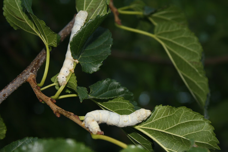 Bombyx Mori - The Silk Worm
