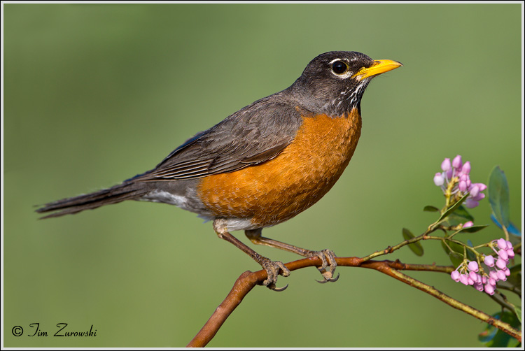 American Robin Facts and Pictures | The Wildlife American Robin Bird